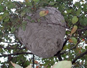 The Baldfaced Hornet's Nest
