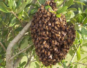 A honey bee colony swarming