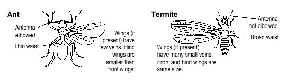 The Difference between Flying Ants and Termites